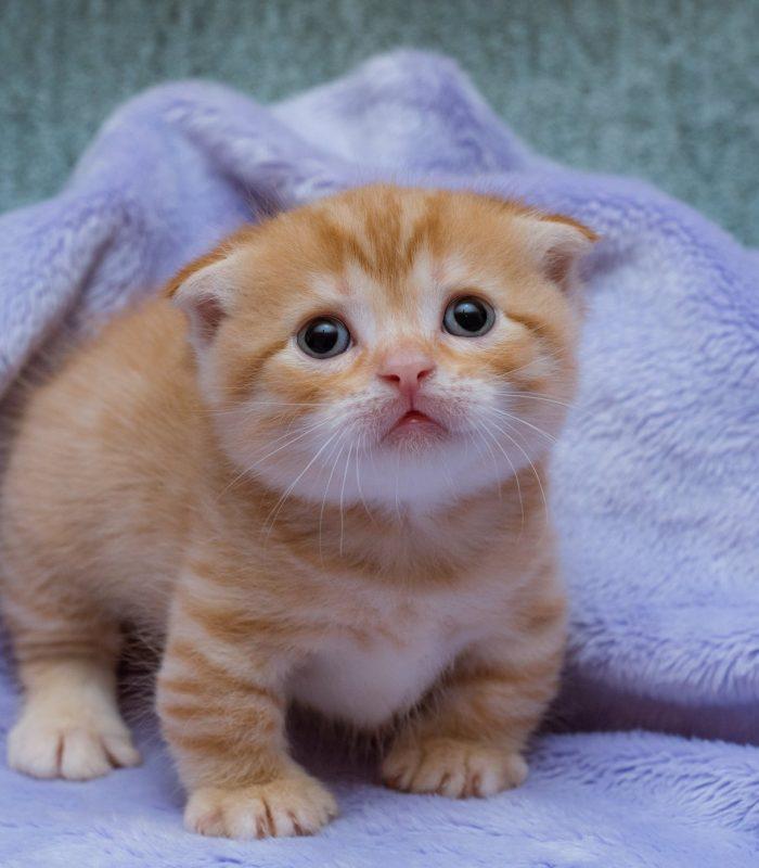 How To Breed Munchkin Kittens