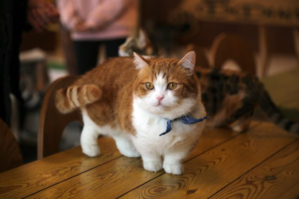 What Does A Munchkin Kitten Look Like